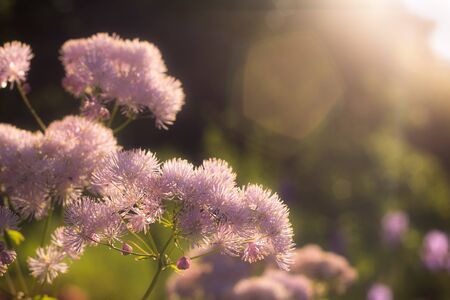 Thalictrum is a genus species of herbaceous perennial flowering plants in the buttercup family, Ranunculaceae