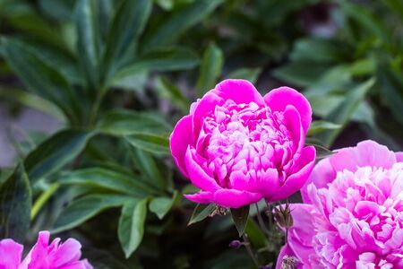 pink, purple peony inflorescences, in full bloom and unopened buds, background defocusing, selective focus