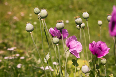 lilac poppy flowers with seed pods on a blurry green background. 免版税图像