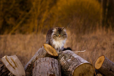 fierce fluffy cat sitting on the wood