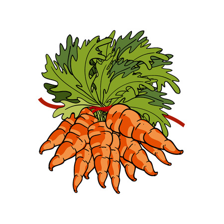 tied up: Group of vegetables, bouquet of fresh carrots tied up with tape. Vector Illustration