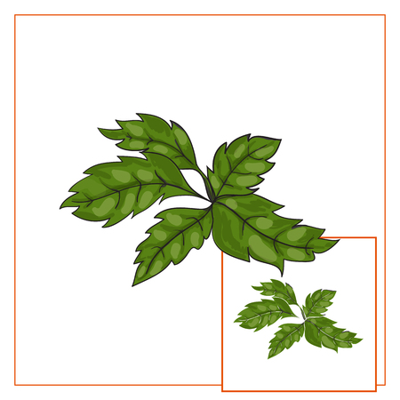 basil: Basil leaves, vector illustration