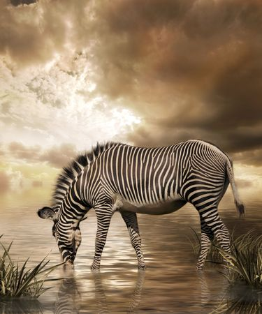 animals in the wild: Zebra in water on cloudy sky background