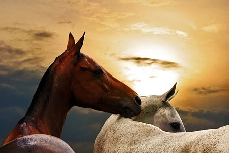 Portrait of brown and white horses on sunset