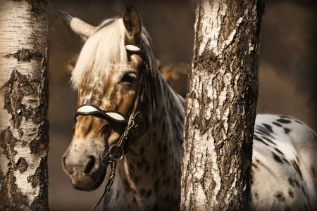 The portrait of spotted horse in birches. Sepia