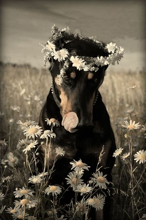 Funny portrait of doberman in wreath of daisies photo