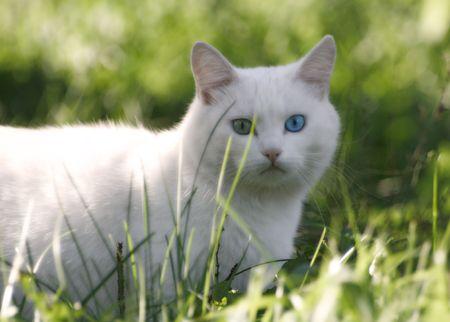 varicoloured: White cat with varicoloured eyes