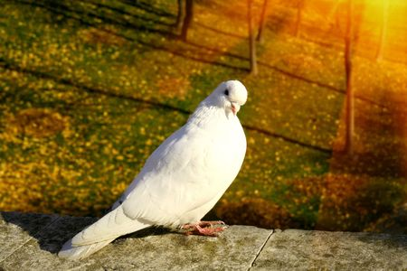 homing: White dove in sunny autumn park