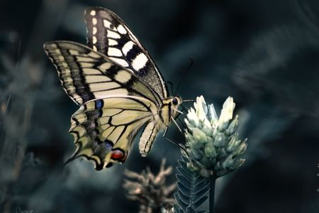 Common Yellow Swallowtail butterfly on small yellow flower photo