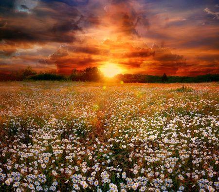 campo de flores: Paisaje con margaritas de campo y la puesta de sol
