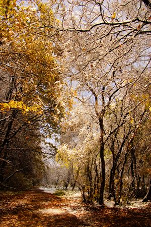 Sunny landscape with autumn forest in snow photo
