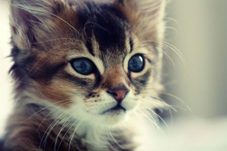 Funny Portrait of ruddy Somali kitten