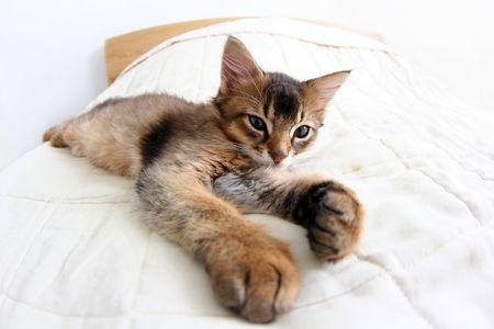 somali: Funny Portrait of ruddy Somali kitten