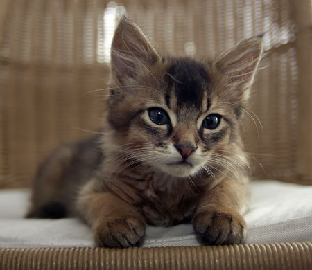 Portrait of seating ruddy Somali kitten