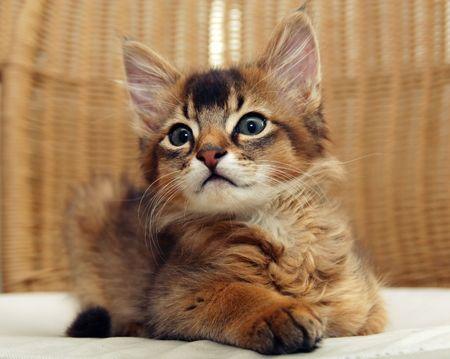 Portrait of seating ruddy Somali kitten photo