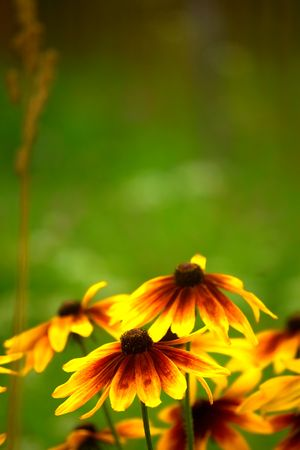 Close-up of Orange daisies in a morning garden Stock Photo - 5377799