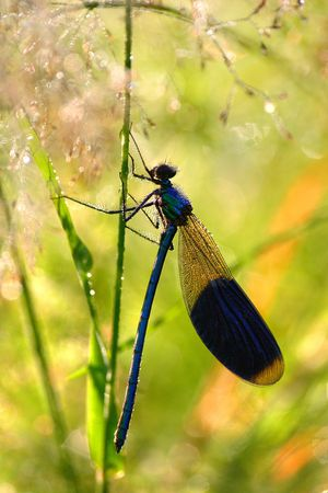 Blue Dragonfly in early morning photo