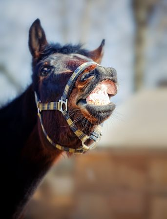 horse laugh: Portrait of beautiful brown horse in the spring sunshine