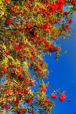 pit fall: Background of  Rowan-tree