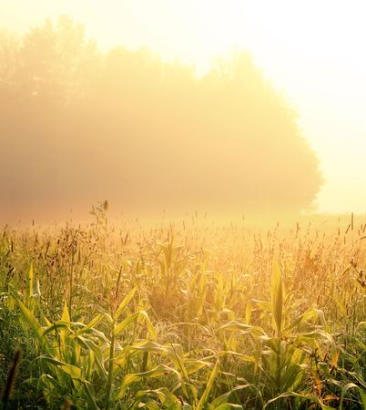Morning corn field in a gold fog Imagens