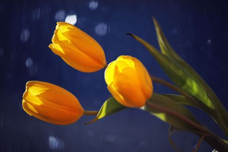 donative: Bouquet yellow tulip on blue background