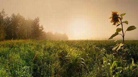 Panoramic landscape with corn field and sunflower in misty morning photo