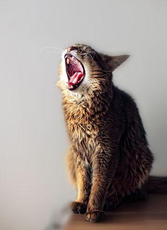somali: Retrato de somal�es gato