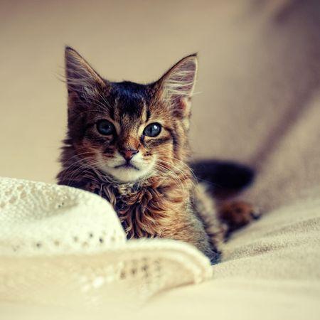 Portrait of somali cat photo