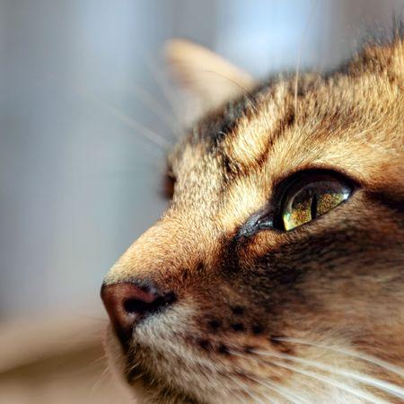 somali: Retrato de gato de somal�es