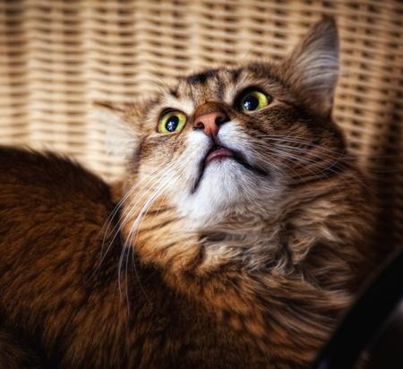 rudy: Somali cat portrait Stock Photo
