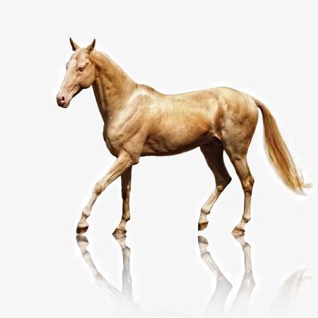 白で隔離されるパロミノ akhal-teke 馬