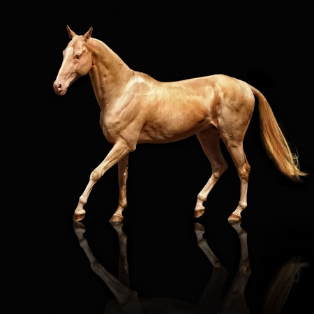 Palomino Akhal-teke horse isolated on black