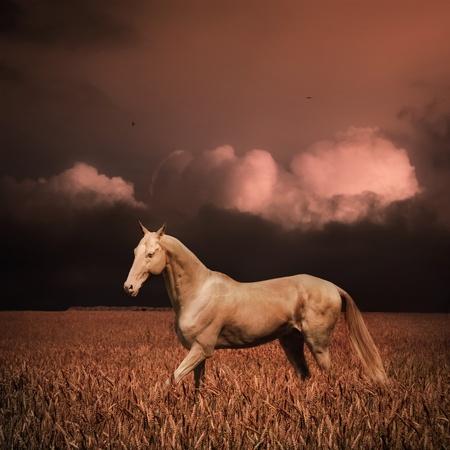 夕方には麦畑パロミノ akhal 着く馬 写真素材