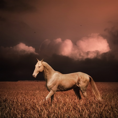 Palomino akhal-teke horse in evening wheat field