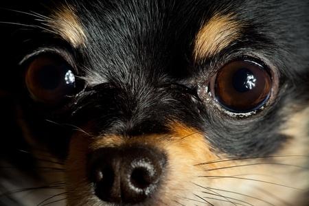 long hair chihuahua: Long-hair Chihuahua dog close up at home