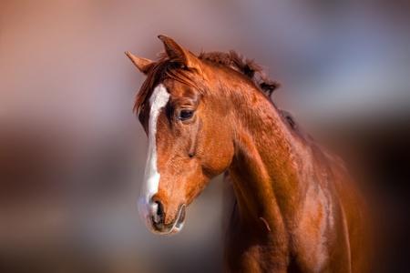 春の日差しの中で美しい赤い種馬の肖像画