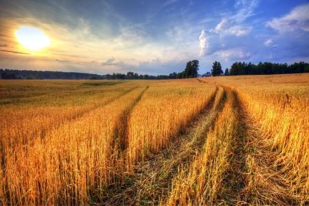 日没の麦畑と農村風景 写真素材