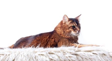 Rudy somali cat laying on white fur carpet Stock Photo - 8898025