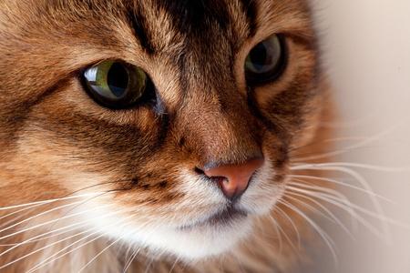 somali: Retrato de gato somal� de Rudy sobre fondo gris Foto de archivo