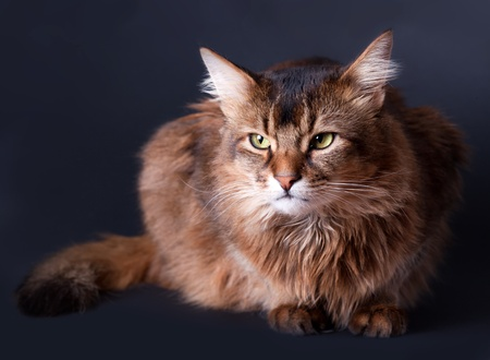 rudy: Rudy somali cat portrait on grey background