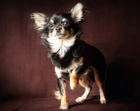 long hair chihuahua: Long-hair Chihuahua dog on dark brown background Stock Photo
