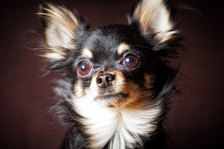 Long-hair Chihuahua dog on dark brown background Stock Photo