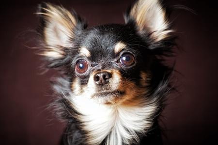Long-hair Chihuahua dog on dark brown background Reklamní fotografie