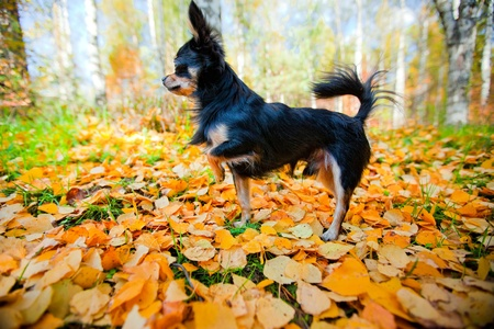 Long-hair Chihuahua dog in an autumn park photo
