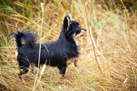 long hair chihuahua: Long-hair Chihuahua dog outdoor portrait