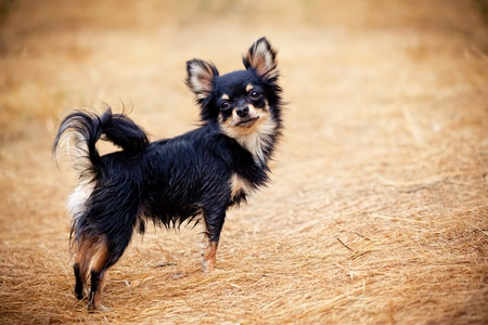 long hair chihuahua: Long-hair Chihuahua dog outdoor portrait