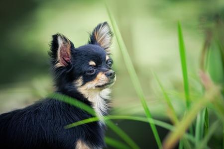 cane chihuahua: In piedi di cane Chihuahua di lunghi capelli sul ponte di legno nei pressi dello stagno