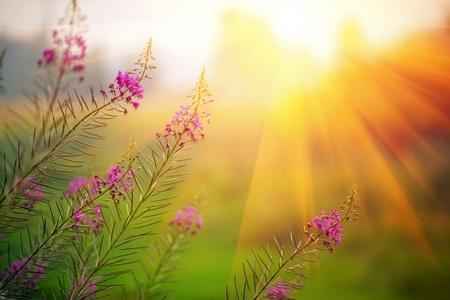 campo de flores: Paisaje con Epilobium angustifolium en noche de verano soleado Foto de archivo