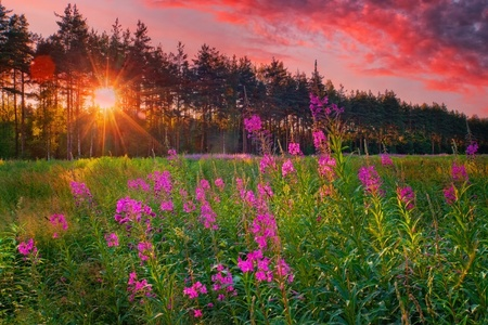 Landscape with Fireweed at sunny summer evening photo