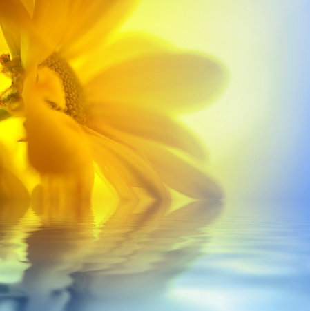 Yellow Daisy closeup over water in sunny light photo